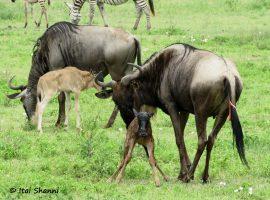 טיול לטנזניה - ספארי המלטות