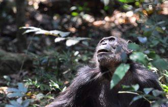 טיול לטנזניה בעקבות השימפנזים