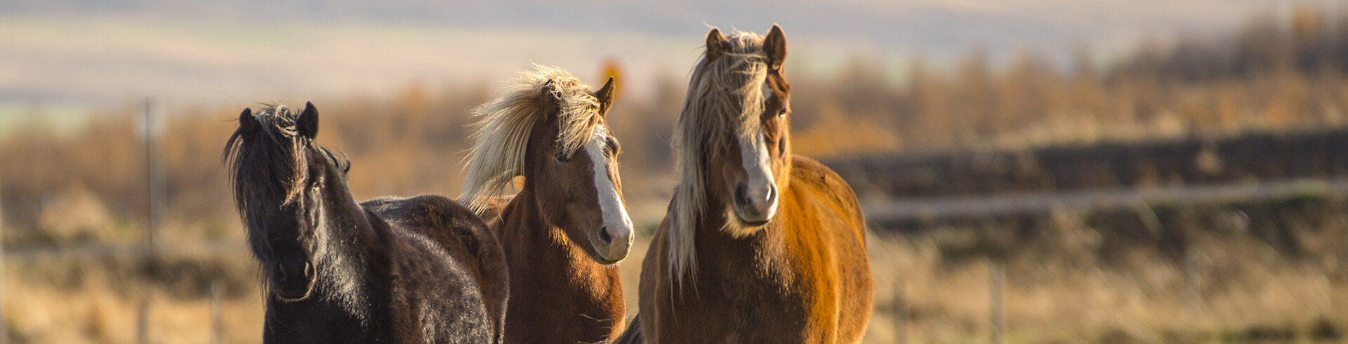 הסוס האיסלנדי
