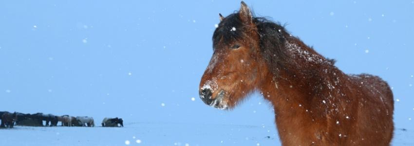 סוסים בשלג של איסלנד